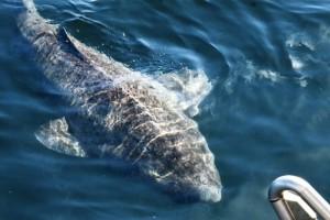 greenland-shark-in-water